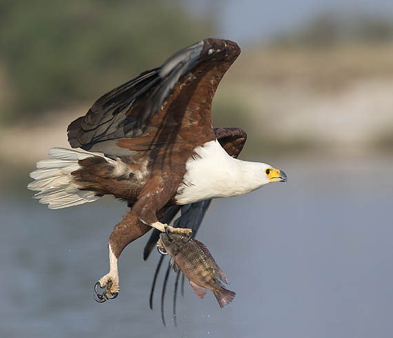 African fish eagle with prey, on Chobe river.